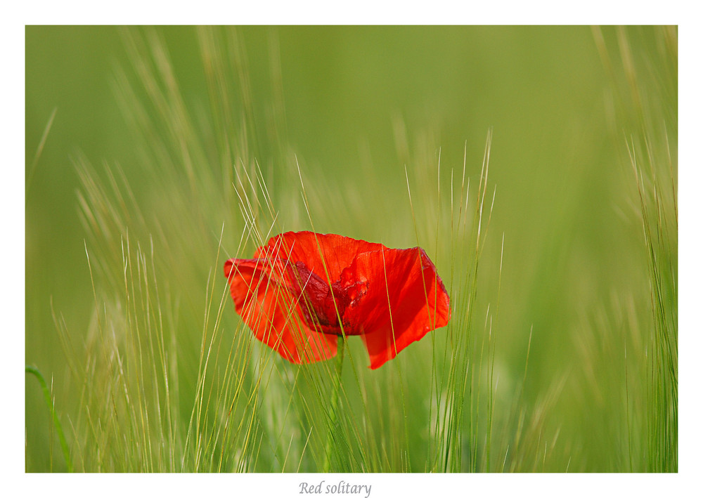 Red solitary
