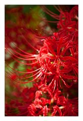 Red Spider lily-2