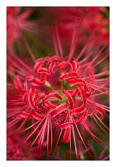 Red Spider lily-3