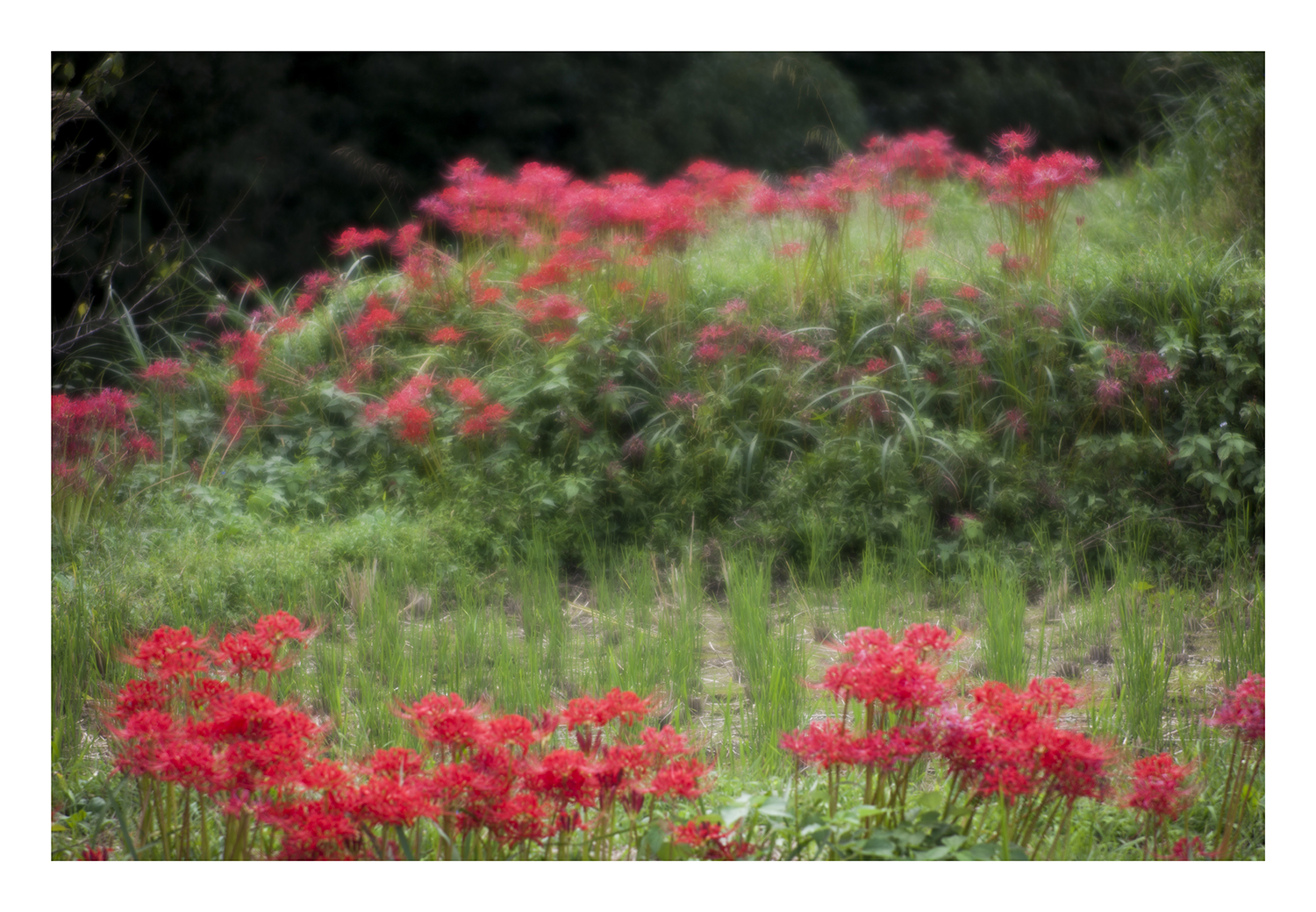 Red Spider lily-4