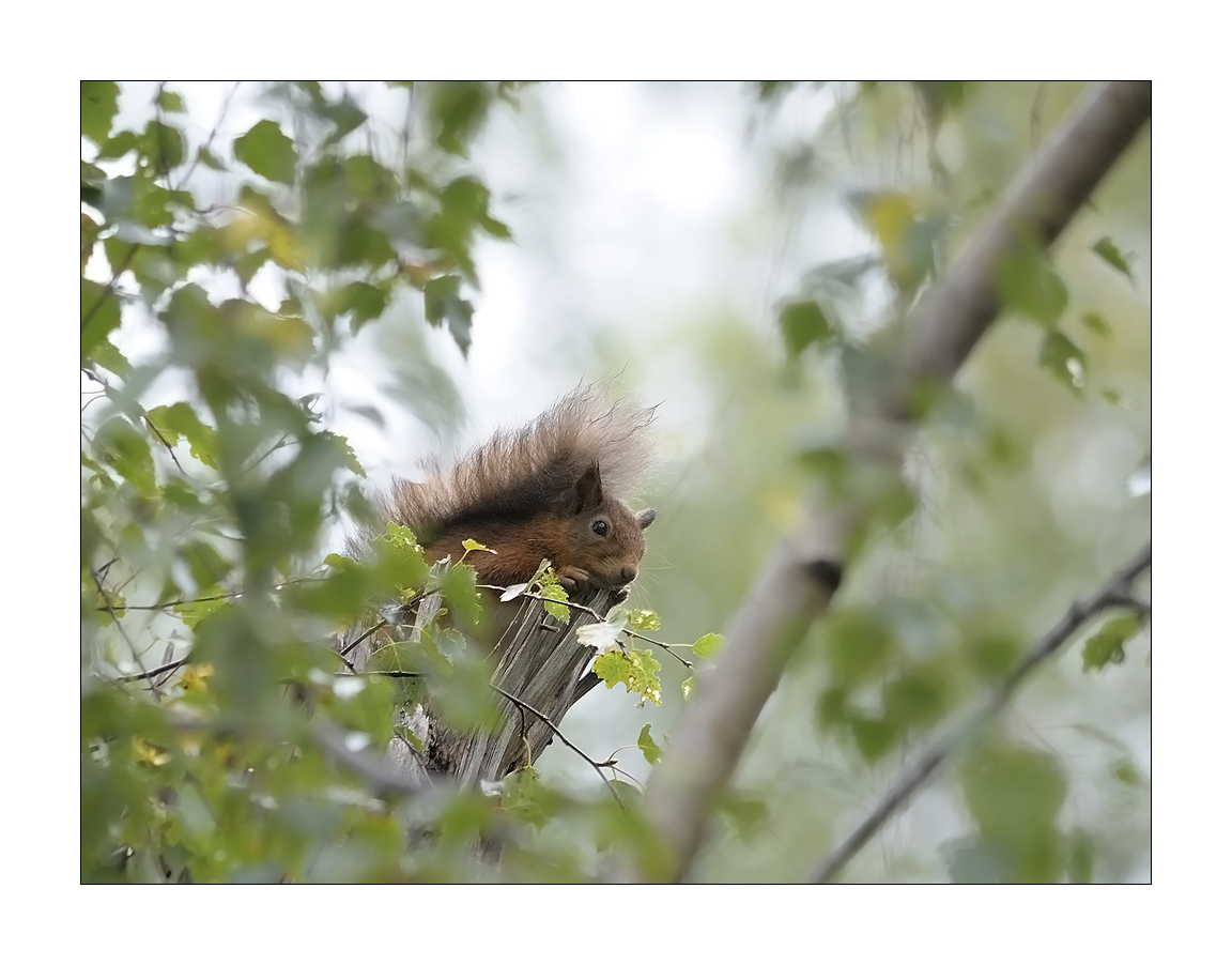 Red Squirrel #2