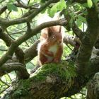 red squirrel at Buttermere