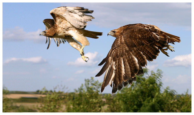 Red Tailed Eagle