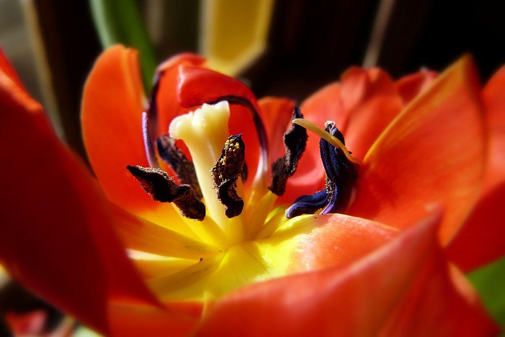 ... red tulip