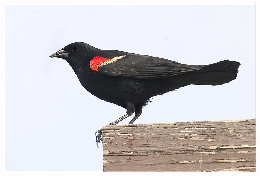 Red winged blackbird ...