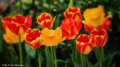 Red & Yellow Tulips