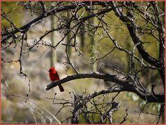 Red.Bird@BearCanyon