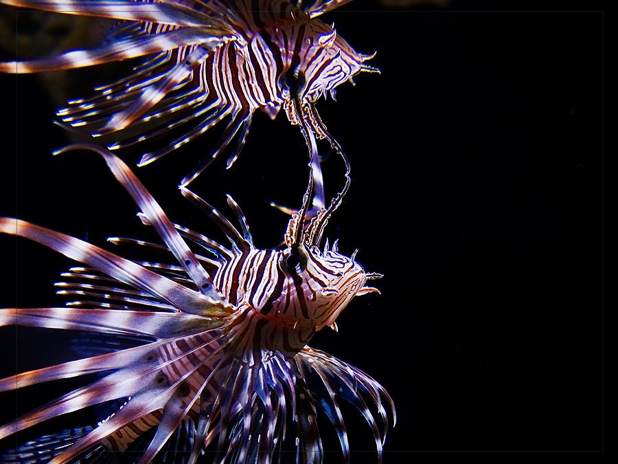 Redfirefish