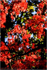 Reds of an Autumn Afternoon - An Annapolis Impression