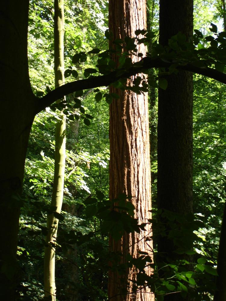 Redwood in Weinheim