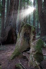 Redwoods (Sequoia sempervirens)...