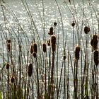 reed and sunshine