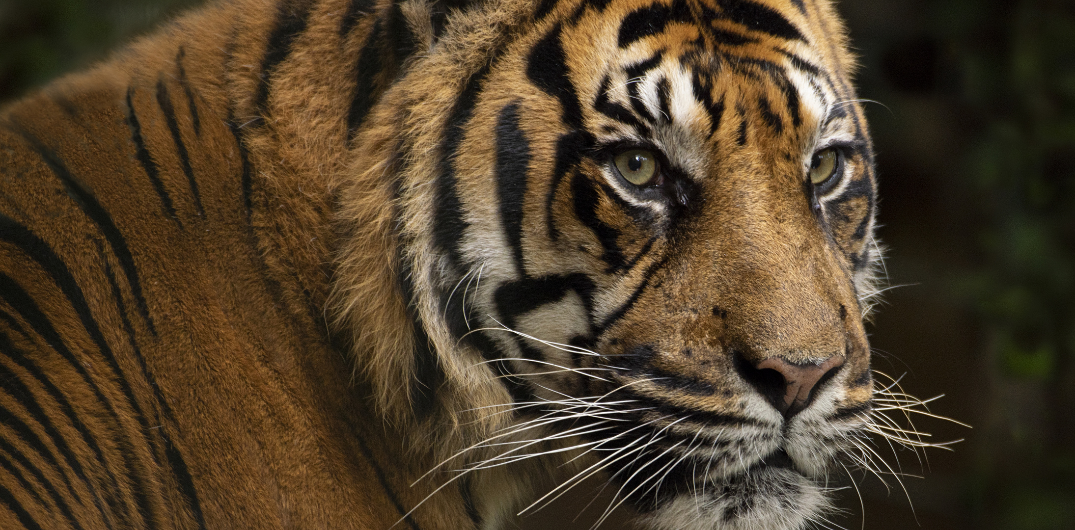 Regard... (Panthera tigris sumatrae, tigre de Sumatra)