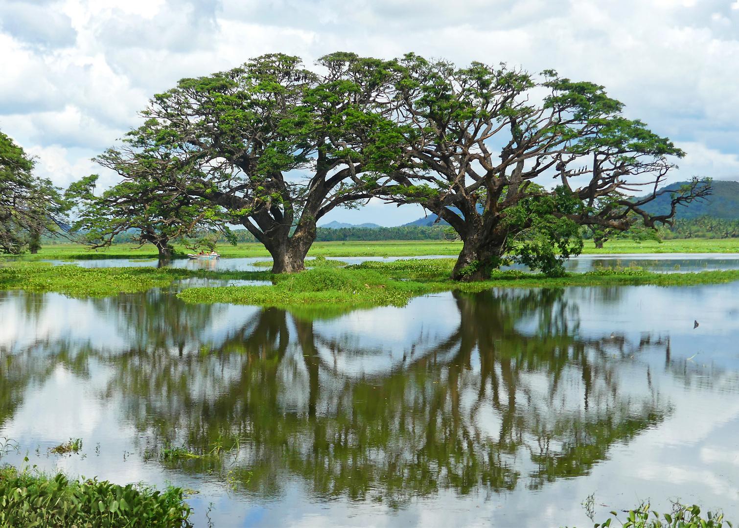 Regenbäume in der Tissamaharama Lagoon