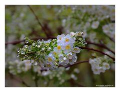 Regenblüten