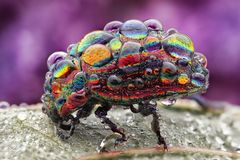 Regenbogen-Blattkäfer (Chrysolina cerealis) mit Tautropfen