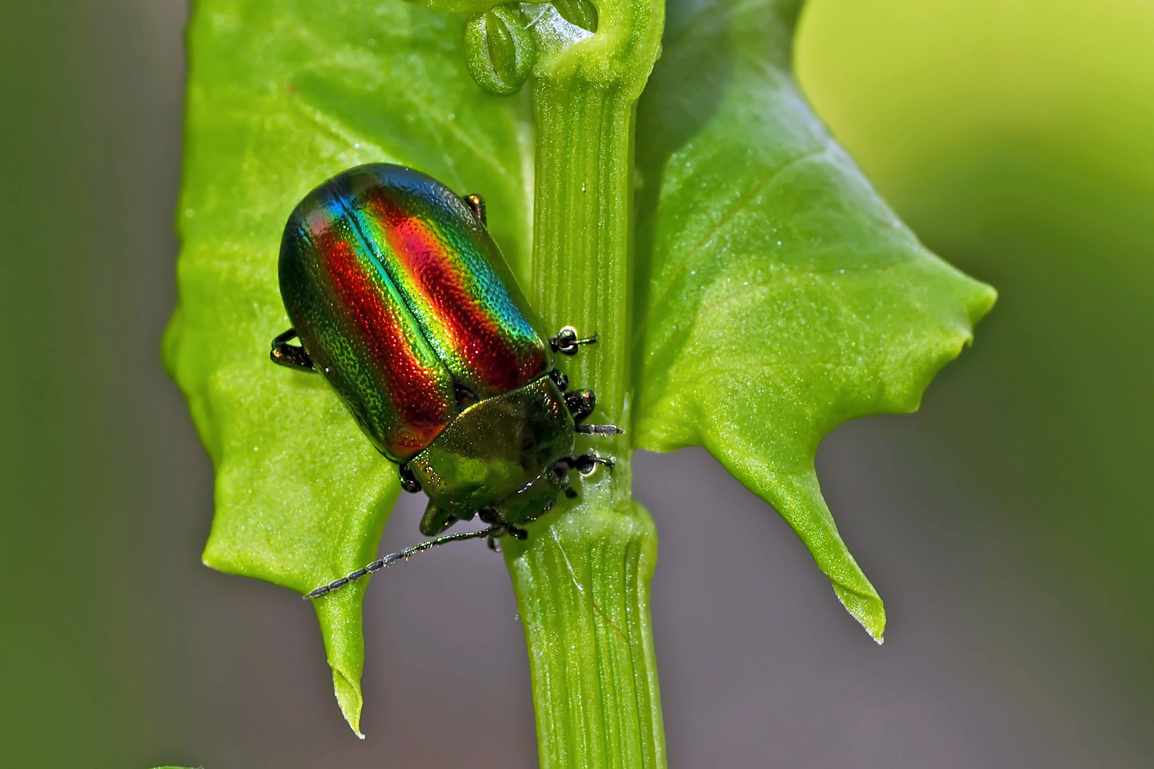 Regenbogen-Blattkäfer (Chrysolina cerealis) - Un coléoptère comme un arc-en-ciel!