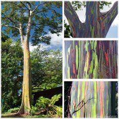 Regenbogen Eukalyptus