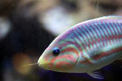 Regenbogen Lippfisch