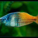 Regenbogenfisch ( Melanotenia Boesimanni )