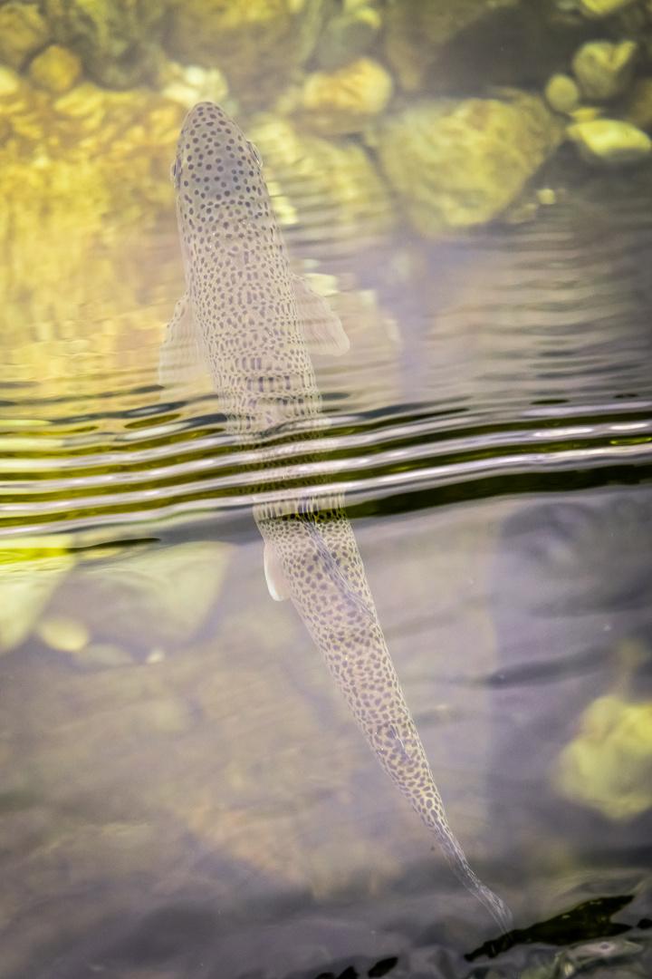 Regenbogenforelle aus der Sava Bohinjka, SLO
