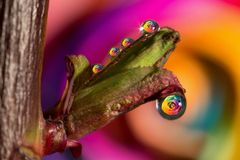 Regenbogenrosen Spiegelungen