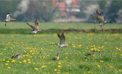 Regenbrachvögel