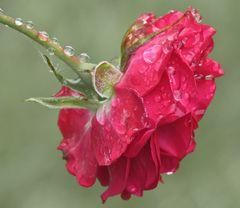 Regenpause - Regenrose