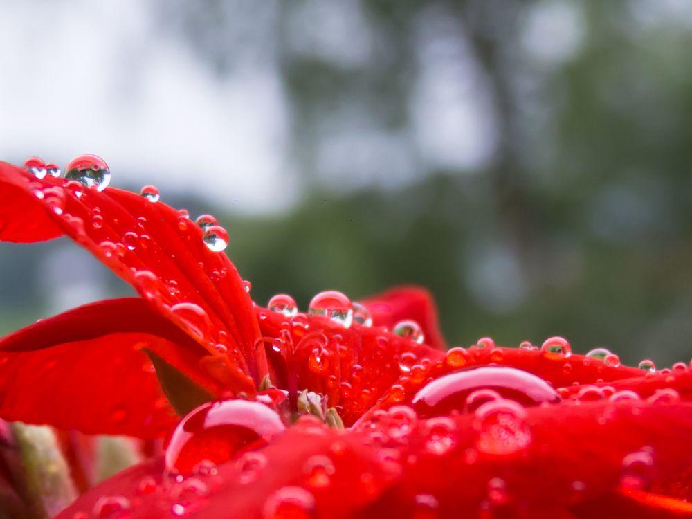 Regenperlen auf Pelargonie