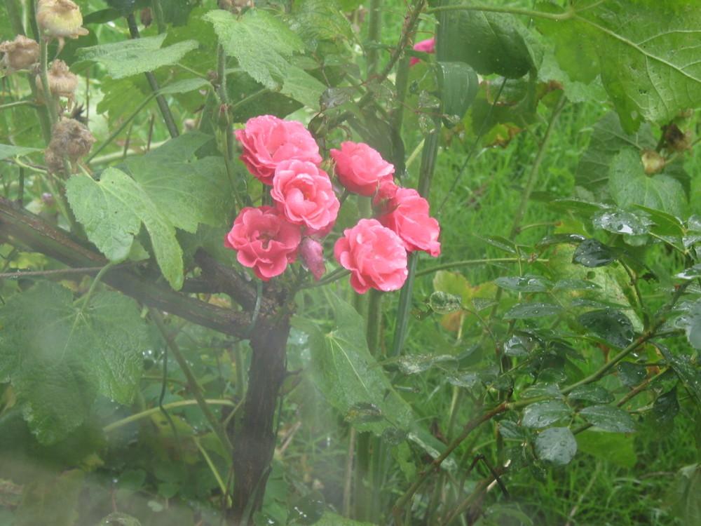 Regenrose