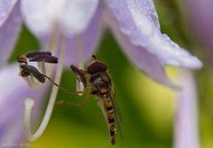 Regenschutz unter dem Blütenkelch
