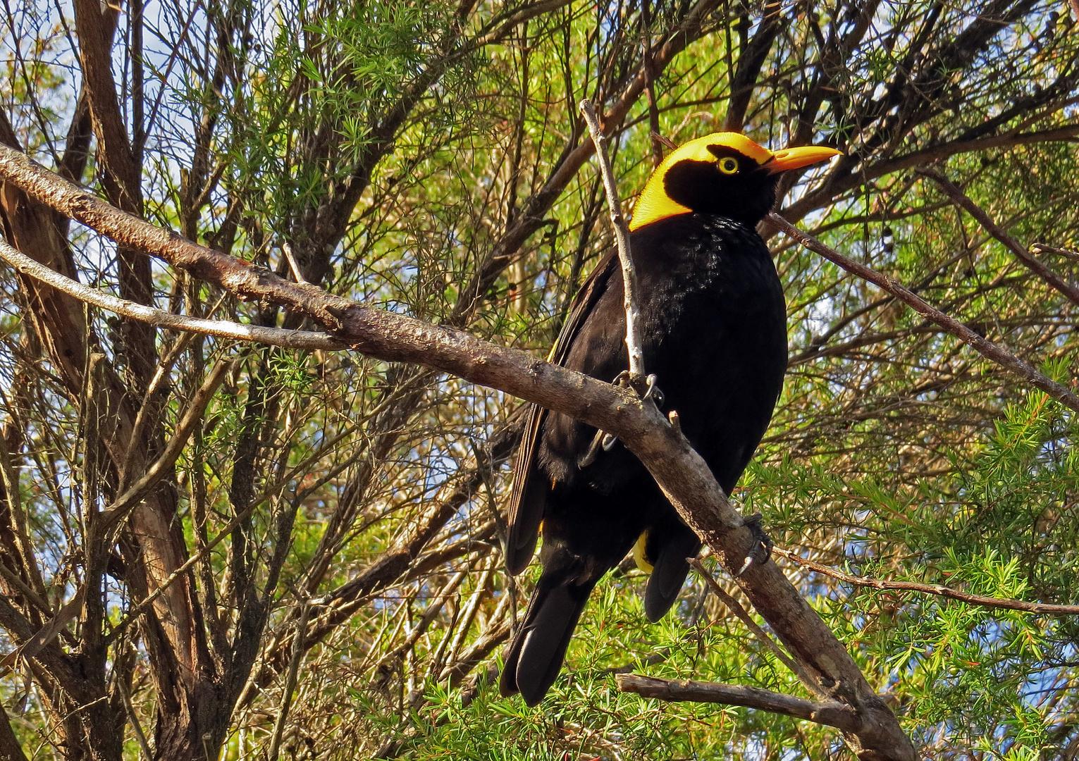Regent Bowerbird oder Laubenvogel
