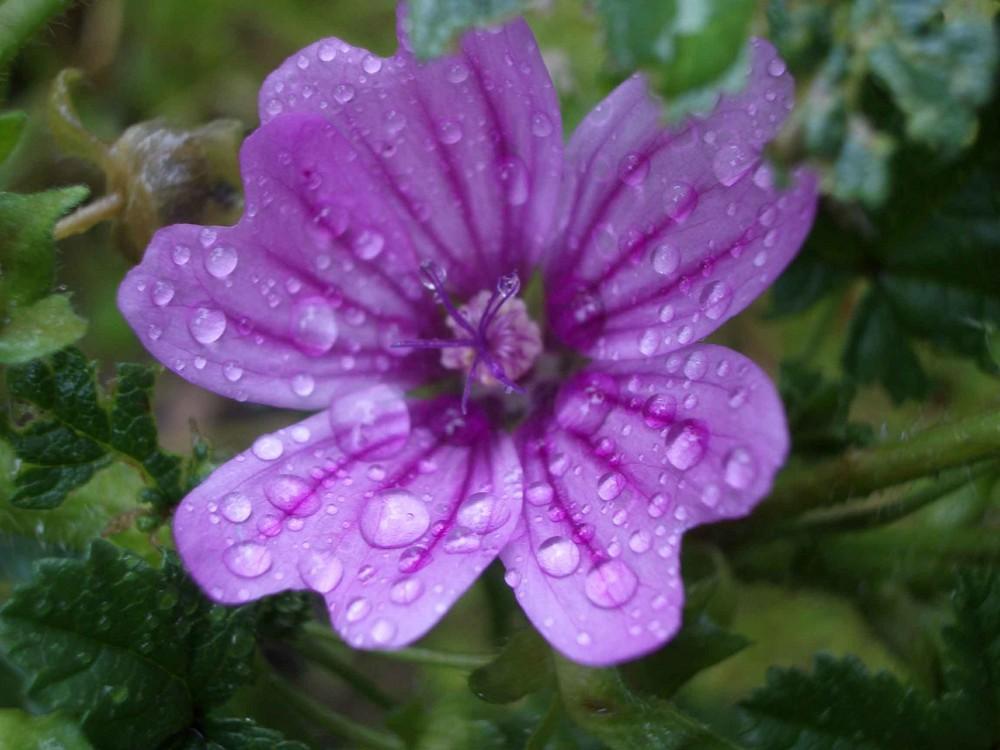 Regentropfen auf der Blüte