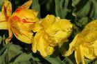 Regentropfen die auf die Blüten klopfen!