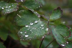Regentropfen, die von den Blättern tropfen