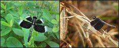 Regenwald-Libelle
