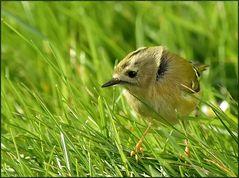 regulus regulus - der kleinste vogel europas