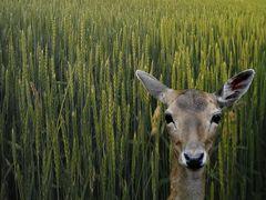 Reh im Getreidefeld