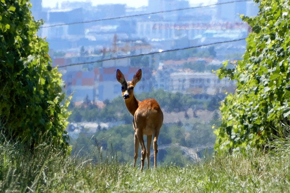 Reh im Wein am Rand der Großstadt