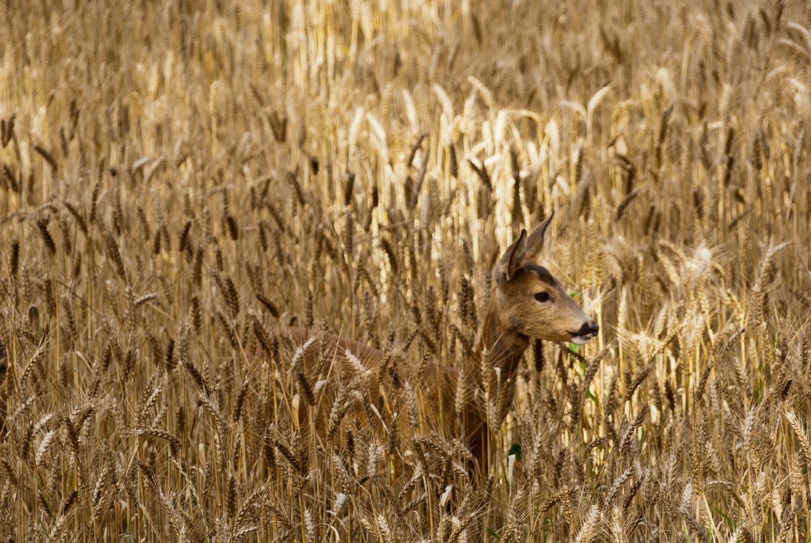 Reh im Weizen