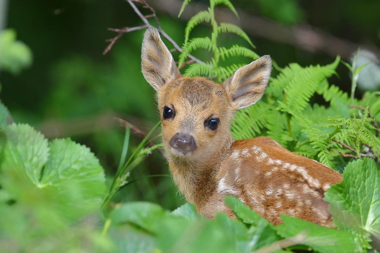 rehkitz ganz nah 3 foto  bild  natur tiere wildlife