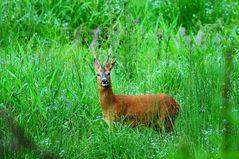Rehwild ist wählerisch und sucht sich in satter Vegetation gerne Kräuter
