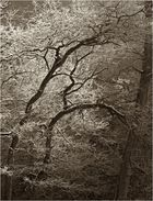 Reifbäume