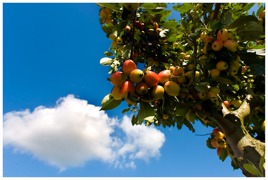 Reife Äpfel, oder....