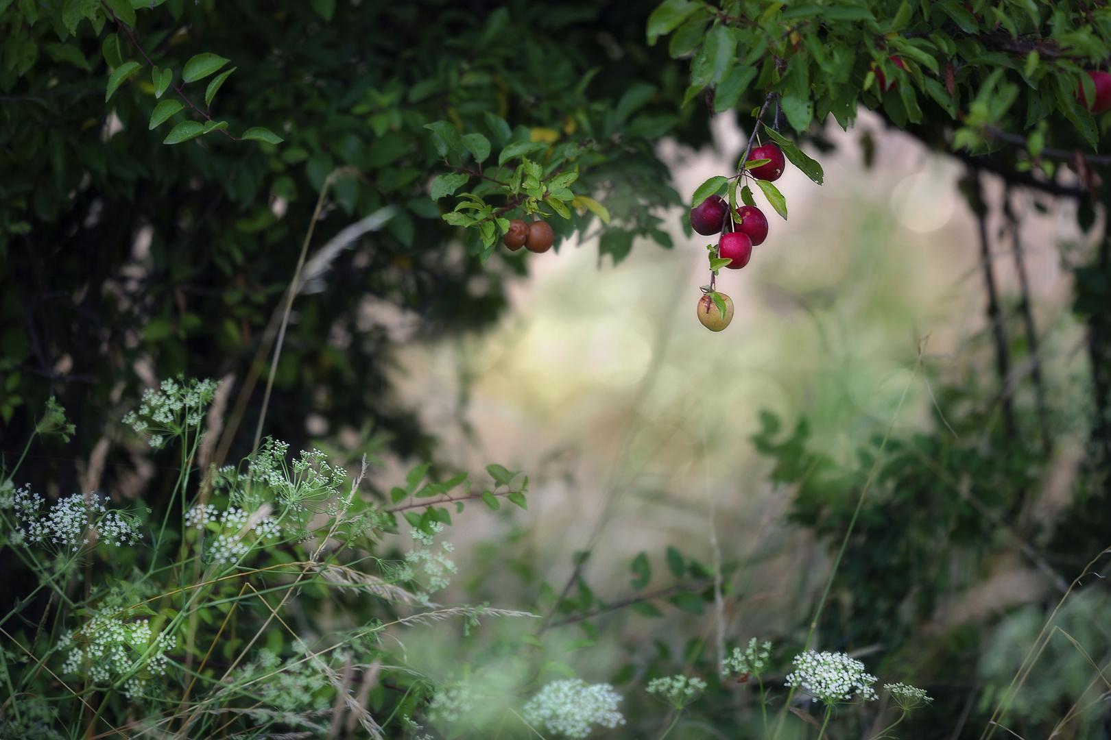 Reife Früchte am Feldrand...
