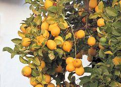 reife Zitronen