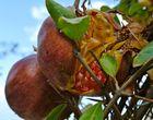 reifer Granatapfel