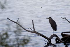 Reiher am Fresh Pond