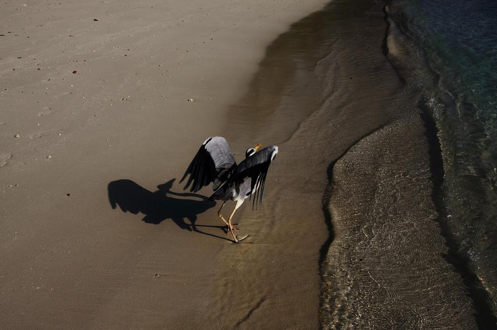 Reiher am Meer 2