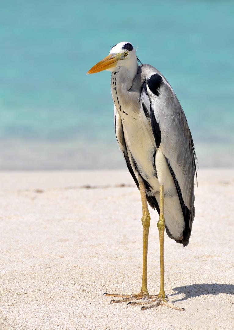 Reiher auf den Malediven